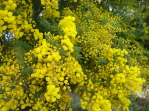 Showers of golden, wattle flowers, bane of hayfever sufferers, and muse to photographers and artists across the country :)